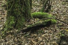 Arbre de serpent dans le mawphlang sacré de forêt photos stock