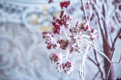 Arbre de sorbe avec les baies rouges dans la neige Images stock