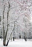 Arbre de sorbe, cendre de montagne, avec les baies rouges dans la neige Photos stock