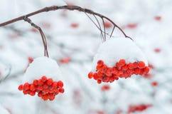 Arbre de sorbe dans la neige Photo libre de droits