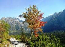 Arbre de sorbe dans les montagnes images libres de droits