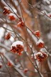Arbre de sorbe en hiver Photo stock