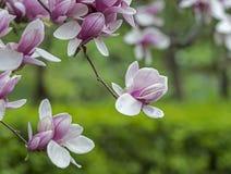 Arbre de soulangeana de magnolia (magnolia de soucoupe) photo stock