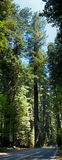 Arbre de séquoia Photographie stock libre de droits