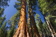 Arbre de séquoia géant, verger de Mariposa, parc national de Yosemite, la Californie, Etats-Unis Images stock