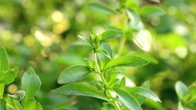 Arbre de Stevia clips vidéos