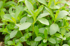 Arbre de Stevia Photos stock