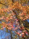 Arbre de Styraciflua de Liquidambar avec les feuilles et les graines colorées en automne photographie stock