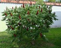 Arbre de sumac de Staghorn avec de grandes fleurs rouges dans le jardin photos libres de droits