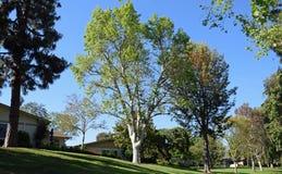 Arbre de sycomore d'avion de Londres en bois de Laguna, la Californie Images libres de droits