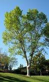Arbre de sycomore d'avion de Londres en bois de Laguna, la Californie Image libre de droits