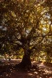 Arbre de sycomore par la lumière du soleil inverse photo libre de droits