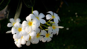 Arbre de temple de Plumeria Photo stock