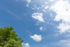 Arbre de Terminalia Ivorensis Chev avec la lumière du soleil sur le backgr de ciel bleu Images libres de droits