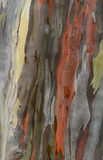 Arbre de texture d'Eucaliptus Image stock