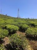 Arbre de thé dans le domaine Sri Lanka Image libre de droits