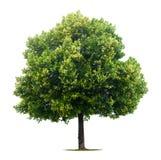 arbre de tilleul feuillu Photo stock