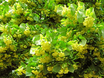 Arbre de tilleul, fleur Photo libre de droits