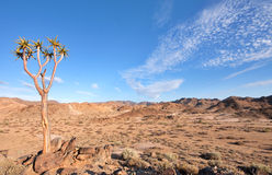 Arbre de tremblement dans Richtersveld Image stock