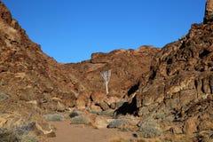 Arbre de tremblement, Namibie Image stock