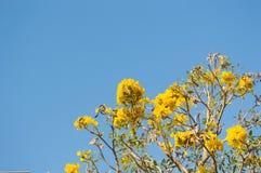 Arbre de trompette argenté, arbre d'or Images libres de droits