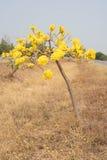 Arbre de trompette argenté, arbre d'or, Image libre de droits
