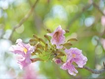 Arbre de trompette rose images stock