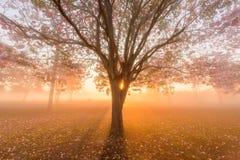 Arbre de trompette rose avec le lever de soleil photo libre de droits