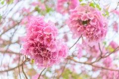 Arbre de trompette rose avec le lever de soleil photographie stock libre de droits