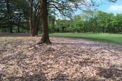 Arbre de trompette rose en parc de fai de putréfaction images stock