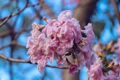 Arbre de trompette rose fleurissant contre le ciel bleu en avril photos stock