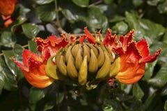 Arbre de tulipe Photos stock
