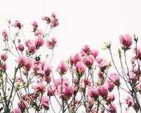 Arbre de tulipe avec haut étroit de fleurs roses photographie stock libre de droits