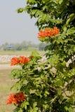 Arbre de tulipe d'Africom, cloche de feu, arbre de fontaine, fleurs et herbes Image libre de droits