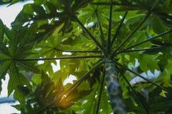 Arbre de vert de papaye photographie stock libre de droits