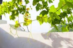 Arbre de vigne Photos stock