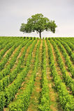 Arbre de vigne, Sancerre, France images stock