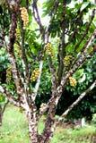 Arbre de Wollongong Images libres de droits