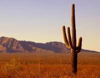 Arbre de yucca Photos libres de droits