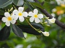 Arbre des fleurs de Plumeria Photos stock