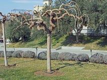 Arbre du sud de propagation avec les branches incurvées de voûte sans feuilles photo stock