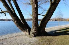 Arbre embranché au lac 3 photo libre de droits