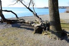 Arbre embranché au lac 1 photo libre de droits