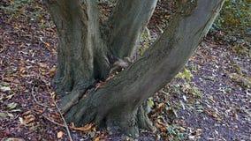 Arbre embranché Groupe d'arbres, tronc en trois pièces images libres de droits