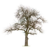 arbre embranché nu de pomme Images stock