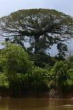 Arbre en Amazonie Photographie stock libre de droits