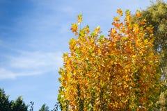 Arbre en automne avec les feuilles jaunes photographie stock
