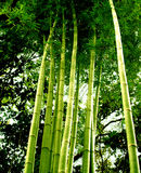 Arbre en bambou 01 Image libre de droits