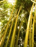 Arbre en bambou 2 Photographie stock libre de droits
