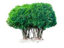 Arbre en bambou Photo libre de droits